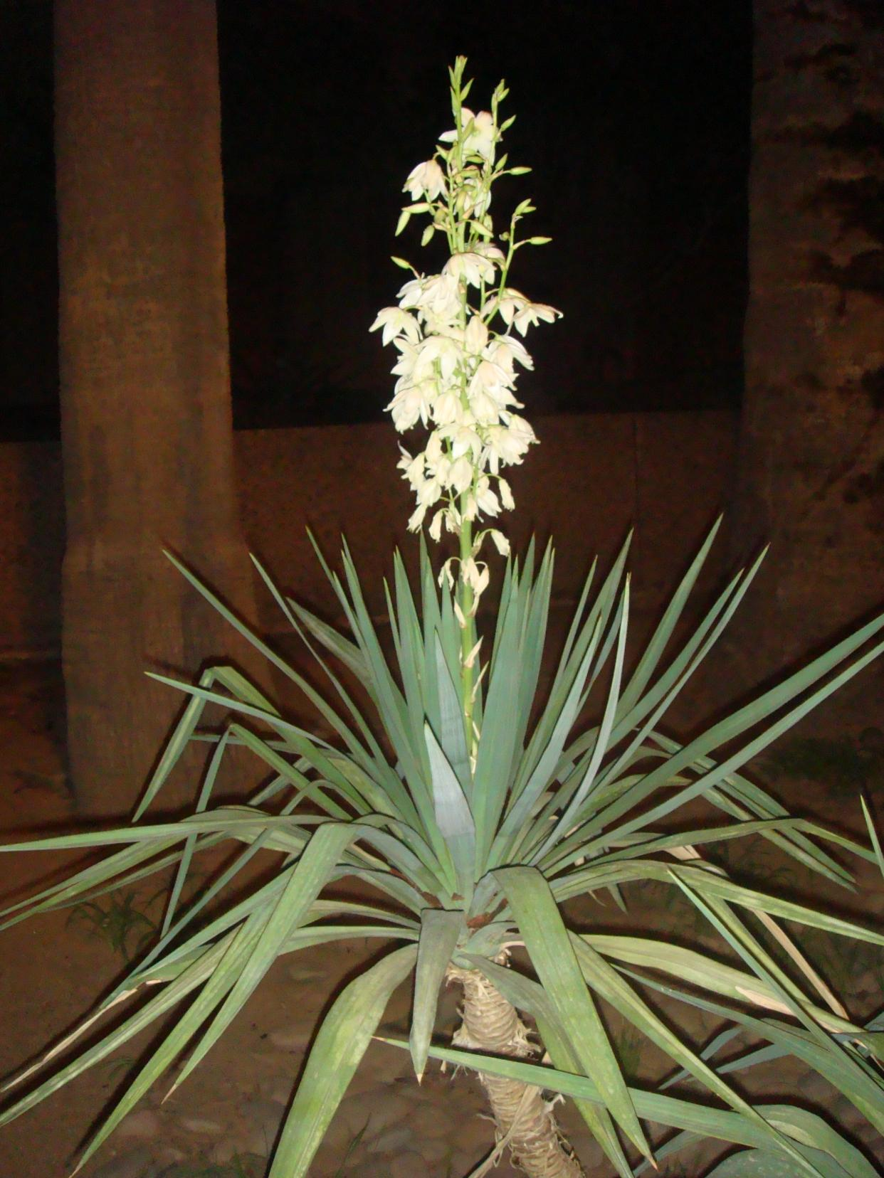 Yucca Plant Care Tips Growing Advice: How To Grow And Care For Yucca