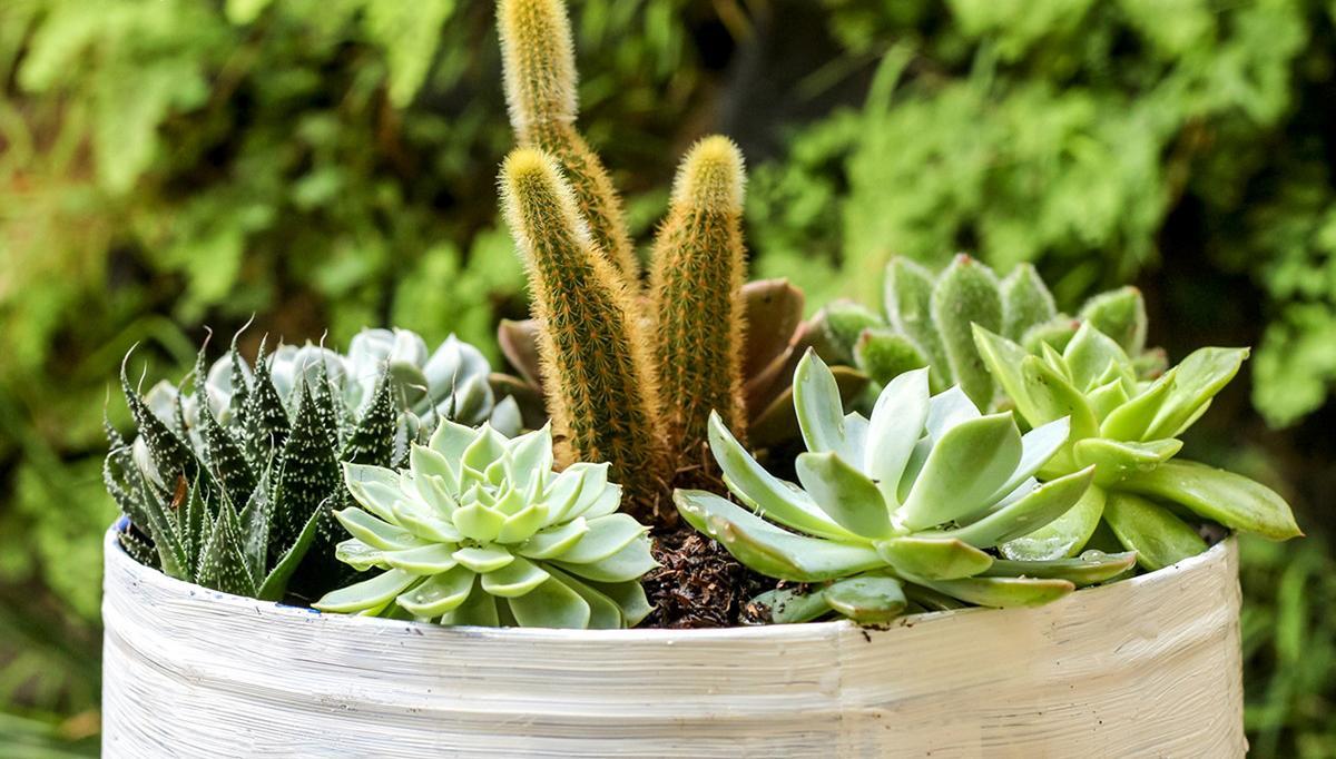 首先多肉植物拼盘有几个原则:  1、拼盘的种类最好是同个科属,同个型的(夏型或冬型) 因为每个科属的生长状态和对环境的要求基本是类似的,所以拼盘的时候比较方便,统一管理的时候不会造成植物生长过程中变形,徒长的现象。  百合科     景天科     如果把景天科和百合科的植物拼在一起,这样的话我真心想说这是糟蹋植物呀。下图是跨科属拼盘一段时间后,由于生长习性的不同,当中的那个白牡丹都直接徒长了。而其他的十二卷属植物长得很好。     2、尽量将植物种的紧凑一点,植物与植物之间的缝隙尽量小,最理想的是做到疏密有致,如图: