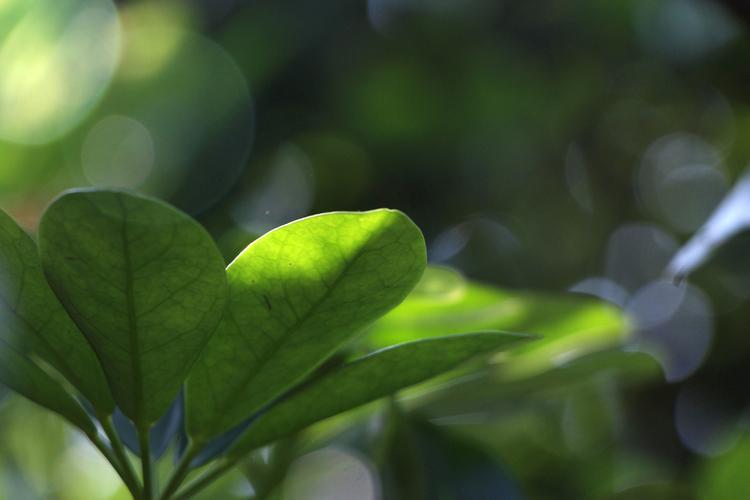 夏天气候炎热,雨量增多,既有利于盆花生长,也带来一些不利因素,必须认真加以管护。  修根换土  久未换土的盆花因老根盘结在盆内,土壤少,不通气,难渗水,在高温蒸发强度大的情况下,植株易因缺水而枯死。  因此,应在炎热天气到来之前翻出植株,剪去部分边缘老根,再换上肥沃的塘泥或山泥,增大根与盆壁之间的空间,促使花木生长良好。此外,如盆过小,在换土时可加大用盆,对花木度夏有利。   依性换位  要依照花木的各种特性,进行摆放位置的调整。南面和西面的阳台光照时间长,气温较高,适宜摆放喜阳光,耐热的花木,如茉莉花、含笑、松、柏、仙人掌、一串红、石榴、梅花、雀梅、榆树、橘类、菊花、长春花、扶桑花等花卉。好荫、怕热的如君子兰、茶花、杜鹃、月季、兰花、龟背竹、文竹、棕竹、仙客来、倒挂金钟、九里香、天竺葵等应移至北面或东面阳台,避免过强的阳光暴晒。  遮阳防雨  兰花、君子兰、茶花、月季等怕太阳直射,应放在通风处或荫棚下,还可在阳台上种植藤本植物,如葡萄、炮仗兰、金银花、红珊瑚、瓜类等,用竹或其他物牵引遮阳,效果极好。秋海棠、含笑、玉兰、仙客来、蟹爪兰、天竺葵、茶花、君子兰等盛夏沾水过多易烂根,故需放在可遮雨的位置。  立体浇水,适当施肥 夏季浇水应采取立体浇水法,即早、晚各浇根水一次,中午用净水喷射叶枝,使植株吸水降温。对生长旺盛和正在开花的花木可每半月施用一次稀释的腐熟液肥,花生麸液肥最佳,也可施各种花肥,如复合肥等。  适当修剪枝叶 修剪枝叶可减少水分蒸发和减少病虫害的发生。