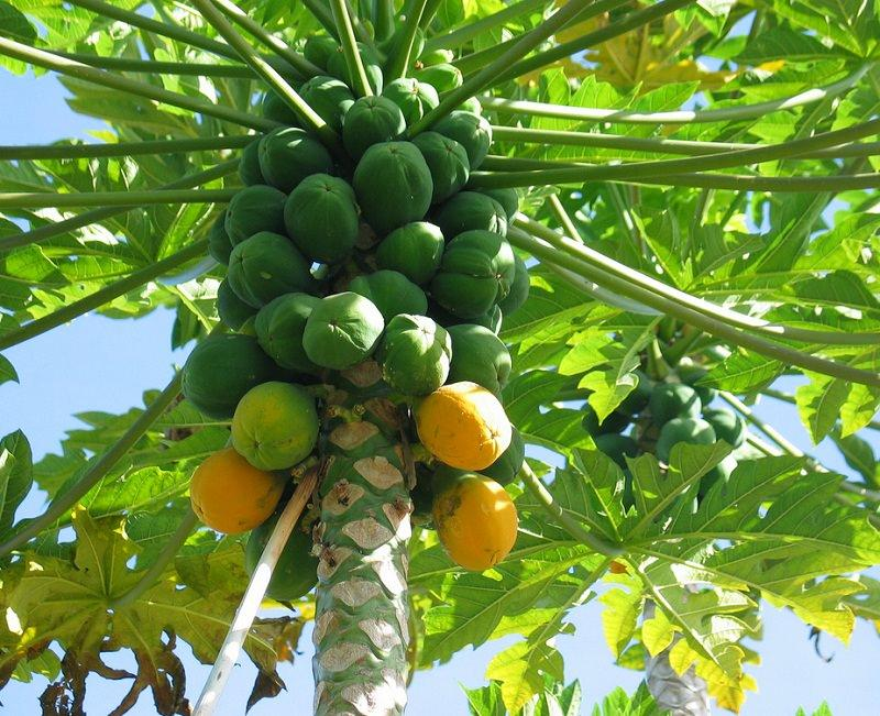 Learn how to grow papaya tree. Growing papaya is perfect for gardeners who like to grow easy to grow fruit trees. Papaya tree care is simple, it is low maintenance and productive. USDA Zones— 9 – 11  Difficulty— Easy       Other Names— Banane de Prairie, Caricae Papayae Folium, Carica papaya, Carica peltata, Carica posoposa, Chirbhita, Erandachirbhita, Erand Karkati, Green Papaya, Mamaerie, Melonenbaumblaetter, Melon Tree, Papaw, Pawpaw, Papaya Fruit, Papayas, Papaye, Papaye Verte, Papayer, Papita.   Papaya (Carica papaya L.) is native to the tropics of Mexico and Central America. This fruit for high nutritional value, great taste and medicinal properties.  Papaya is mainly consumed as a fruit, but it is also used for making soft drinks, juices, pickles, jams, and curries. It produces latex that is extracted from the green fruit and stem, which contains an enzyme called papain that helps in digestion of proteins. Plant Characteristics Papaya is a herbaceous plant of relatively rapid growth and short life (not profitable to cultivate mature plants for longer than 3 years because the fruit yield gets low). It has a hollow, segmented and erect single stem and no branches. It presents a many large, lobed leaves. The plant height can reach up to several meters.  The fruit has a wide variety of forms, its shape and size vary depending on the variety and type of flower. Pollination If you're growing papaya you must know that papayas come in three sexes: Male, female and hermaphrodite (bisexual). Male papaya trees must be eliminated as they don't produce fruits. Female papaya trees require male tree for pollination. In orchards and papaya plantations, generally, 1 male tree per 10 female trees is grown. Bisexual papaya trees are self-pollinating and don't require male trees for pollination. Commercial growers plant them. You will need to plant either female or bisexual papaya tree.  To learn how to identify male or female papaya, tree read this informative discussion on hel