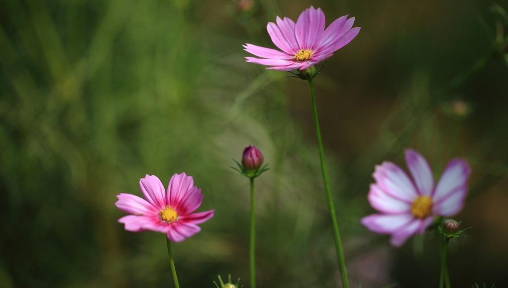 """什么叫""""花卉""""? 通俗地讲,""""花""""是植物的繁殖器官,是指姿态优美、色彩鲜艳、气味香馥的观赏植物,""""卉""""是草的总称。习惯上往往把有观赏价值的灌木和可以盆栽的小乔木包括在内,统称为""""花卉""""。  严格地说,花卉有广义和狭义两种意义。狭义的花卉是指有观赏价值的草本植物。 如凤仙、菊花、一串红、鸡冠花等;广义的花卉除有观赏价值的草本植物外,还包括草本或木本的地被植物、花灌木、开花乔木以及盆景等,如麦冬类、景天类、丛生福禄考等地被植物;梅花、桃花、月季、山茶等乔木及花灌木等等。另外,分布于南方地区的高大乔木和灌木,移至北方寒冷地区,只能做温室盆栽观赏,如白兰、印度橡皮树,以及棕榈植物等也被列入广义花卉之内。  花卉的种类极多,范围广泛,不但包括有花的植物,还有苔藓和蕨类植物。其栽培应用方式也多种多样。因此,花卉分类由于依据不同,有多种分类方法。下面列举几种常用的分类方法。  一、依据生态习性分类 这种分类方法是依据花卉植物的生活型与生态习性进行的分类,应用最为广泛。 ㈠、露地花卉 就是在自然条件下,完成全部生长过程,不需保护地栽培。露地花卉依其生活史可分为三类。  ⒈一年生花卉。 在一个生长季内完成生活史的植物。即从播种到开花、结实、枯死均在一个生长季内完成。一般春天播种、夏秋生长,开花结实,然后枯死,因此一年生花卉又称春播花卉。如风仙花、鸡冠花、百日草、半支莲、万寿菊等。  ⒉二年生花卉。 在两个生长季内完成生活史的花卉。当年只生长营养器官,越年后开花、结实、死亡。这类花卉,一般秋天播种,次年春季开花。因此,这类花卉常称为秋播花卉。如五彩石竹、紫罗兰、羽衣甘蓝、瓜叶菊等。  ⒊多年生花卉。 个体寿命超过两年的,能多次开花结实。根据地下部分形态变化,又可分两类: ⑴宿根花卉:地下部分形态正常,不发生变态的。如芍药、玉簪、萱草等。  ⑵球根花卉:地下部分变态肥大者。根据其变态形状又分为以下五大类 ①:鳞茎类,地下茎呈鱼鳞片状。外被纸质外皮的叫有皮鳞茎,如水仙、郁金香、朱顶红。鳞片的外面没有外皮包被的叫无皮鳞茎,如百合。 ②:球茎类。地下茎呈球形或扁球形,外面有革质外皮。如唐菖蒲、香雪兰等。 ③:根茎类。地下茎肥大呈根状,上面有明显的节,新芽着生在分枝的顶端,如美人蕉、荷花、睡莲、玉簪等。 ④:块茎类。地下茎呈不规则的块状或条状,如马蹄莲、仙客来、大岩桐、晚香玉等。 ⑤:块根类。地下主根肥大呈块状,根系从块根的末端生出,如大丽花。  ⒋水生花卉 在水中或沼泽地生长的花卉,如睡莲、荷花等。  ⒌岩生花卉 指耐旱性强,适合在岩石园栽培的花卉。常在园林中选用。一般为宿根性或基部木质化的亚灌木类植物,还有蕨类等好阴湿的花卉。   ㈡、温室花卉 指原产热带、亚热带及南方温暖地区的花卉。在北方寒冷地区栽培必须在温室内培养,或冬季需要在温室内保护越冬。可分为以下几类: ⒈一、二年生花卉。如瓜叶菊、蒲包花、香豌豆等。  ⒉宿根花卉。如非州菊、君子兰等。  ⒊球根花卉。如仙客来、朱顶红、大岩桐、马蹄莲、花叶芋等。  ⒋兰科植物依其生态习性又分为: ⑴地生兰类:如春兰、葱兰、建兰等。  ⑵附生兰类:如石斛、万代兰、兜兰等。  ⒌多浆植物: 指茎叶具有发达的贮水组织,呈肥厚多汁变态状的植物。包括仙人掌科、景天科、大戟科、菊科、风梨科、龙舌兰科等科植物。   ⒍蕨类植物。根据观赏方式不同,又可分为下面四类: ⑴庭园绿化蕨类。如翠云草、桫椤。其中桫椤又称树蕨,是最大的蕨类植物,高可达10多米。它是古老类群,在我国属濒危种,为我国一级保护植物。另外,槐叶?,满江红为水面绿化好材料。  ⑵盆栽观叶蕨类植物。如石松、乌蕨、蜈蚣草、铁线蕨等。其中石松、肾蕨、铁蕨为重要切花配叶材料。  ⑶垂吊蕨类植物。如肾蕨、巢蕨等。  ⑷山石盆景蕨类植物。如卷柏、团扇蕨。其中团扇蕨是蕨类植物中形体最小的,仅有几厘米大小。   ⒎食虫植物。 如猪笼草、瓶子草等。在有些切花艺术中,常用来作艺术插花材料。  ⒏风梨科植物。如水塔花、风梨等。  ⒐棕桐科植物。如蒲葵、棕竹、袖珍椰子等观叶花卉。  10.花木类有一品红、变叶木等。  11.水生花卉如王莲、热带睡莲等。  二、依园林用途分类 1.花坛花卉 指可以用于布置花坛的一、二年生露地花卉。比如春天开花的有三色堇、石竹;夏天花坛花卉常栽种风仙花、雏菊;秋天选用一串红、万寿菊、九月菊等;冬天花坛内可适当布置羽衣甘蓝等。  2.盆栽花卉 是以盆栽形式装饰室内及庭园的盆花。如扶桑、文竹、一品红、金桔等。  3.室内花卉 指通过C4途径来进行光合作用暗反应过程的一类花卉。一般观叶类植物都可作为室内观赏花卉。如发财树、巴西木、绿巨人、绿箩、五彩玉米等。  4.切花花卉 ⑴宿根类:如非州菊、满天星、鹤望兰。  ⑵球根类:百合、郁金香、马缔莲、香雪兰等。  ⑶木"""