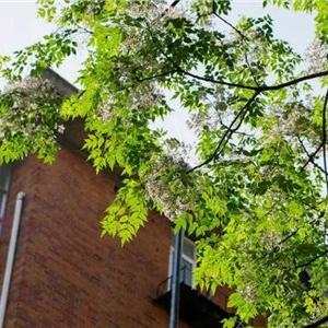 草木灰  草木灰就是草木燃烧后的灰烬,能高效杀灭红蜘蛛、蚜虫、蚧壳虫等,还能消灭月季、杜鹃等的白粉病呢!可以自己烧点枯枝干草得到草木灰,也可以网购。   直接撒盆里  1、在盆里挖个坑  在离花根较远处,挖一个坑,深度在5-10厘米就行,如果花盆比较大,可以挖2-4个小坑。  2、把草木灰撒坑里  抓一把草木灰,直接撒到坑里,再用土掩埋好,浇上少量水,可以有效治愈月季、杜鹃等的白粉病。或直接把草木灰撒到生病的枝叶上,也能有效杀虫,隔天再喷洗叶片。  喷草木灰水  1、草木灰泡清水里  取一些草木灰,装入干净的塑料瓶,再倒入10倍的清水,盖上瓶盖,摇匀,静置8小时。  2、往花上喷  把比较清澈的上层草木灰水装到喷壶里,直接对着花的枝叶喷洒,重点喷洒有病虫害的地方,1个月喷2次,虫子全死光,花长得壮壮的。  竹炭  平常放在冰箱、车里竹炭包也能有效防止病虫害哦,千万别随手扔了,有的花友家里攒了不少竹炭包,正好拿来养花呀。   1、倒出竹炭碎块  如果家里的竹炭比较大块,那就要先弄成小碎块。  2、撒盆里  把竹炭撒盆里,撒薄薄一层,不但可以有效杀菌,防止病虫害,还能提高土壤透水透气性、释放多种矿物质,让花呼呼长。  烟灰  抽烟时掸下的烟灰、剩下的烟头,含有焦油,焦油本身就有毒,能杀灭蚜虫、潮虫等,已经有不少花友用过之后,反馈有杀虫效果。   烟灰撒盆面  1、烟灰撒盆面  如果家里有抽烟的,不妨将烟灰收集起来,在发现花上有蚜虫、盆里有潮虫时,就可以直接把烟灰撒到盆面。  2、浇上水  烟灰撒盆面之后,再浇上些水,让烟灰渗透到土里,这样可以有效杀灭土中的成虫和虫卵哦。  喷烟头水  1、烟头泡清水里  把烟头装进干净的瓶子里,倒入清水泡着,等2天之后,清水变成深褐色时,烟头中的杀虫成分就会溶解到清水里了。  2、过滤烟头水,直接喷花  先过滤一遍烟头水,然后倒入30倍的清水,可以直接倒花盆里,也可以装入喷壶,往花上喷了,虫子全死翘翘。1个月浇2次就行。  臭椿叶  臭椿叶在绿化带里比较常见,叶子散发的特殊臭味就可以驱虫杀菌,还含有黄酮等多种高效杀虫成分,所以臭椿本身很少得病虫害。花花教你怎么用臭椿叶给花杀虫!   1、摘取新鲜臭椿叶  去野外或者绿化带里摘一些新鲜的臭椿叶,尽量多摘一些。  2、捣碎臭椿叶  找个废旧的蒜臼子,先把臭椿叶切碎,再装进蒜臼子,捣成碎泥,加入3倍清水,浸泡2天,让臭椿叶中的杀虫成分溶解到水里。  3、直接喷花  可以直接把臭椿叶水浇土里,也可以先把残渣过滤掉,装入喷壶,往病虫害的位置喷洒,一天喷2次,连续喷5天,蚜虫、菜青虫等全死光!  肉桂粉  很多人家里有肉桂粉,比如烤面包、煮汤时就会放点肉桂粉。肉桂粉的杀虫效果也不错,像小黑飞、果蝇等都能有效杀灭。   1、撒土里  往盆里撒一把肉桂粉,可以有效杀灭祛除小黑飞、果蝇等,包括土里的虫卵。  2、祛除蚂蚁  往花盆里或者花盆周围撒点肉桂粉,可以有效驱赶蚂蚁。  楝树叶  楝树一般种在道路两侧或者花园绿化带里,楝树叶子中含有楝素,有不少农药就是从楝树里提取出杀虫成分,比起农药,用楝树叶杀虫更环保安全!   1、捣碎楝树叶  多摘点新鲜的楝树叶,越是翠绿鲜嫩的叶子,含有的楝素越多,杀虫效果越好。多摘些叶子,能摘3斤更好,捣碎之后,加入等量清水。  2、浇土里或喷叶子  可以把加水后的楝树叶直接浇土里,也可以先过滤掉残渣,装进喷壶,直接朝菜青虫、蚜虫、红蜘蛛喷洒,虫子全死光!  辣椒  辣椒里含有的辣椒素可以有效杀灭小黑飞,天然无污染,再也不用为小黑飞心烦!   1、辣椒越辣,杀虫越快  干辣椒、新鲜的辣椒都可以,只要够辣就行,比如朝天椒,有些青椒并不辣,杀虫效果也不好。  2、切碎辣椒  用刀切碎辣椒,最好带着手套,防止辣手,也要注意别让辣椒汁水溅到眼睛里。把碎辣椒放水里,浸泡5个小时。  3、过滤后喷洒  用纱布把辣椒水过滤一下,扔掉辣椒皮、辣椒种等,再加入50倍的清水,然后装进喷壶,直接朝着有小黑飞枝叶喷洒,小黑飞被杀死了,落一地,简直太爽啦!