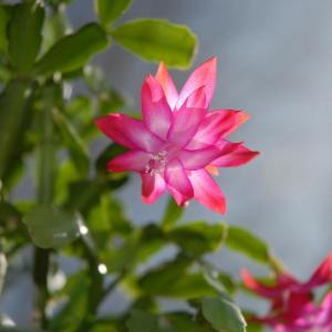 A beautiful holiday plant (botanically known as Schlumbergera or Zygocactus), the Christmas Cactus unsurprisingly blooms at Christmas and also sometimes around Easter time if cared for properly. A month prior to Christmas you will be able to watch the tips of the leaves beginning to grow. The tips grow darker as each day passes, until a bud forms. At Christmas time, as if by magic, the buds open to a beautiful flower that will add color and warmth to any holiday season.  Choosing Your Spot, Soil, and Set-Up  1.Give your Christmas Cactus bright but indirect light. Keep the plant in a well-lit location (like near a window) away from direct sunlight – too much heat and light can stunt growth and burn the leaves. It should also be away from drafts, heat vents, fireplaces or other sources of hot air.[1] Move an indoors plant outdoors in summer to a shady location. It is best to keep in a normal house temperature range, about 65 to 75°F (18 to 20°C). That being said, cooler night temperatures can be used to initiate blooming. We'll discuss getting it to bloom in the final section. If it's in a north or east-facing window, you won't have to worry about light. But if it's in a south or west-facing window, diffuse the light with semi-transparent curtains or some other light-diffusing device.  2.Provide the plant a source of humidity if you live in a dry environment. Put a tray of water next to the plant so that the water evaporates and provides humidity. Alternatively, you can make a humidity tray by placing the pot on a waterproof saucer that is filled with gravel and halfway filled with water. 50 to 60% humidity is the ultimate goal.[2] If your environment is close to that, you should be fine.  3.Use a well-draining container and well-draining soil. For the container, some of the cheap nursery planters will work well, and orchid planters (the plastic basket kind) work well also. Pair this planter with a planter that will hold water and allow the basket to fit down into it.