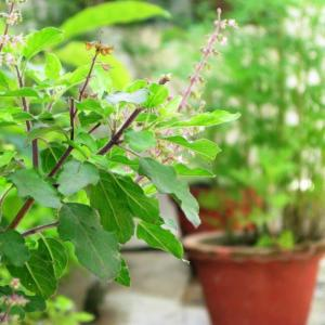 Learn how to grow tulsi plant, its care and growing requirements are simple and easy.