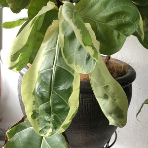 My Ficus Lyrata variegata's leaves suddenly became limp amd soft. Old leaves were dropping a few days back. When I got it the soil felt too damp so I repotted.  When I saw that it went drooping I watered it thoroughly. Any idea what's wrong? It looks like it has gotten worst since watering it two days ago.