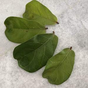 Does anyone know if Ficus Lyrata (Fiddle Leaf Fig) can be propogated using leaf cuttings?