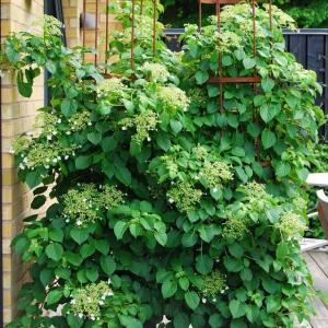 Add a vertical touch in your container garden by growing climbing plants for containers. Must see these 24 best vines for pots.