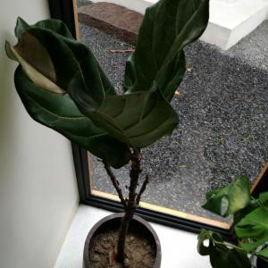 求教这是什么植物?叶子一直掉是什么原因?