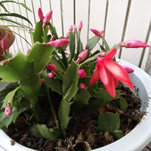 蟹爪兰开花了。