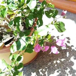"""花卉是大自然美的精华。花和人一样,不仅有正名,而且还有别称、雅号等种种叫法。花卉雅号是自古以来爱好花卉的诗人和广人人民群众给花卉起的美名或尊称。。 雍容华贵的牡丹,又称""""国色天香""""。据说唐代长安有个叫李正封的人写了一首咏牡丹的诗,内有佳句""""国色朝酣酒,天香夜染衣"""",庸明皇看了很欣赏,就说杨贵纪喝酒后站在梳妆床前照影,那红颜美貌使与李正封的诗意相吻合,""""国色天香,人似花容""""。此后,牡丹就有""""国色天香""""之雅号。 芍药被认为是仅次于牡丹的丽花.宋代陆佃在《埠雅》中说:""""今群芳中牡丹品第一,芍药第二,故也称牡丹为花王,芍药为花相(宰相)。""""因此,牡丹又有""""花王""""之雅号,芍药的雅号为""""花相""""。 有些花卉的雅号的来历已无从考证了。但这些雅号(别名)在民间则广为流传。现将常见的花卉雅号介绍如下:  """"花王""""——牡丹;  """"花相""""——芍药;  """"花中皇后""""——月季;  """"花中西施""""——杜鹃;  """"花中君子""""、""""天下第一香""""、""""空谷佳人""""——兰花;  """"人间第一香""""——茉莉;  """"东篱高士""""、""""雪里婵娟""""——菊花;  """"君子花""""——莲花;  """"白花盟主""""——铃儿花(吊钟);  """"月下美人""""——昙花;  """"绿色仙子""""——吊兰;  """"花魁""""——梅花;  """"四君子""""——梅、兰、竹、菊;  """"岁寒三友""""——松、竹、梅;  """"花中双绝""""——牡丹、芍药;  """"中国三大天然名花""""——杜鹃、报春、龙胆;  """"花草四雅""""——兰、菊、水仙、菖蒲;  """"花中四友""""——茶花、迎春、梅花、水仙;  """"蔷薇三姊妹""""——蔷薇、月季、玫瑰;  """"花中二姊妹""""——薄荷、留兰香;  """"红花二姊妹""""——红花、藏红花;  """"盆花五姊妹""""——山茶、杜鹃、仙客来、石蜡红、吊钟海棠;  """"树桩七贤""""——黄山松、缨络柏、枫、银杏、雀梅、冬青、榆;  """"园林三宝""""——树中银杏、花中牡丹、草中兰;  """"云南八大名花""""——山茶、玉兰、杜鹃、报春、百合、兰花、绿绒蒿、龙胆。"""