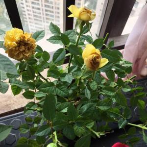麻烦问下各位,我的月季花没开就黄了是怎么回事啊?