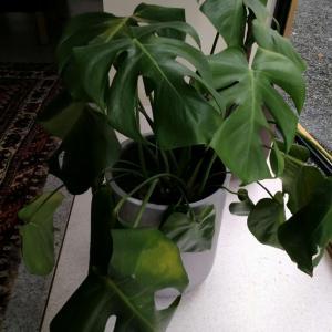 请问这个是什么植物?叶片发黄发蔫是什么原因?