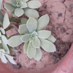whats the name of this succulent??