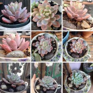 Please help🌵The two first pictures are of my succulent someone on here called Echeveria Grey Giant but when i look it up nothing much shows up. Today i found Echeveria Scheideckeri and Pachyveria Scheideckeri which are the rest of these pictures. They look very much like my succulent but i need help figuring out my plants real identity  :(