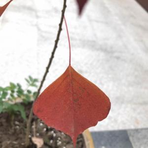 请问这叫什么树?