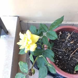 月季有黄斑,以前得过白蜘蛛,几个小分支枯萎了,用洗衣粉和风油精喷过才好。感觉恢复得不是很好,花朵小。怎么破?
