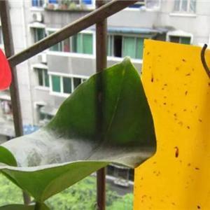 引诱法  顾名思义,就是在花盆周围放一些特殊东西,将小黑飞吸引粘住。   1、带有特殊气味的黄色沾虫板  用小细棍将沾虫板固定住,挂在略高于植株的位置处,太高或太低都影响诱捕效果;  注意沾虫面积达到60%时要更换沾板。  2、一小盆肥皂水或糖水  糖水会黏住小黑飞,而肥皂含有脂肪酸,分解后会变成天然的蜡涂层,小黑飞沾上后会脱水致死。  将肥皂兑水溶解至酸碱度达1~2(可用ph试纸测试),注意用雨水、凉开水等软水溶解,也可以在肥皂水中加少量糖水。  隔离法