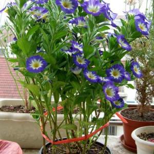 实话讲养三色旋花的不多,可能是因为它有点像牵牛花,所以在花友圈里不是很热门,所以关于三色旋花种植方法的心得经验不是很多,不过不要紧,我们依旧可以种出美丽的三色旋花。   我们可以用种子来播种三色旋花,也可以直接买苗,因为三色旋花是一二生的草本植物,所以一般都是播种的居多。可以在3-5月份或者秋季进行播种,三色旋花从播种到开花大约需要80天左右,所以我们在春季播种的三色旋花初夏时基本上就可以看到开花了。   三色旋花播种很简单,和其他植物一样,不娇气,在春季温度保持在18℃以上的时候开始播种,将种子播种,覆上薄土,然后浇透水,注意不要把种子冲掉,如果温度不是很高,可以盖上一层薄膜。这样不仅可以保温还可以保持。  大概5-10天左右就可以发芽了,发芽后可以逐步去除薄膜,比如先扣几个窟窿,最终全部去掉,以免突然去掉薄膜小苗不适应。待本叶长出3-5枚时,就可以移植于盆内管理,但是三色朝颜的小苗并不耐移植,所以移植时需特别注意,也可一开始就直播于盆内。   三色旋花的苗期养护比较简单,我们将三色旋花放在阳光充足的地方养护,盆土不宜过干,有条件的花友可以每隔一个星期施一次薄肥,以磷钾肥为主。  三色旋花有一点和牵牛花比较相似,就是早晨开花,单多花期只有一天。需要跟花友说的是,在夏季应适当遮荫,平时养护注意通风和保持盆土内的水分。另外三色旋花的花茎比较高,可以到40厘米,所以需要做好抗倒伏的准备。