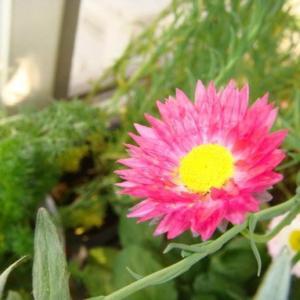 种子的选取  挑选品质较好的、饱满完整的种子,这样可以提高发芽率。  种植的时间  想要植物生长的良好,种植的时间也占很大的因素,而适合永生菊种子种植的时间则是每年的3月至6月之间。   播种前准备  尽量用较细腻,且养分充足的土壤装入盆中,浇足水。  操作的方法  然后将种子均匀的摆放在土壤上层,然后上面在覆盖2厘米厚的土壤,在进行洒水,让土壤保持一定的潮湿度。若温度过低也可以在上面覆盖一层塑料薄膜,白天时拿掉薄膜进行换气与洒水,晚间在继续覆盖上。  当芽的高度达到2厘米至5厘米时,便可以根据小芽的情况进行留取,或是移植,把涨势较弱的,相对较小的全部拔除。  定植后的间距至少要在4厘米X3厘米以上,以防后期植物长大后间距过密致使所有植株都无法健康的生长,而且过密还会产生许多病虫害。   等到天气变暖后便可以移到室外摆放,但要注意过于强烈的阳光还是要适当的时行遮蔽的。土壤干透浇透即可。时,便可以根据小芽的情况进行留取,或是移植,把涨势较弱的,相对较小的全部拔除。  定植后的间距至少要在4厘米X3厘米以上,以防后期植物长大后间距过密致使所有植株都无法健康的生长,而且过密还会产生许多病虫害。  等到天气变暖后便可以移到室外摆放,但要注意过于强烈的阳光还是要适当的时行遮蔽的。土壤干透浇透即可。