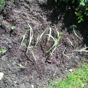 So, my corn has long since outgrown their pot, so I've planted them outside.