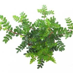 清香木(学名:Pistacia weinmannifolia)为漆树科黄连木属的植物。分布于缅甸以及中国大陆的云南、贵州、广西、四川、西藏等地,生长于海拔580米至2,700米的地区,常生长在石灰山林下以及灌丛中,目前尚未由人工引种栽培。      清香木如何繁殖培育  一、种植方法  漆树科黄连木属植物, 别名细叶楷木、香 叶子。野生于我国云南中部、北部及四川南部等海拔1 300~2 300 m的干热河谷地带。该树 种耐干旱瘠薄, 根系发达, 抗性强, 是干热河谷地带造林绿化先锋树种, 也是该地主要薪炭 用材。清香木树形美观, 气味清香, 具有多种食、药用功能, 开发前景广阔。 清香木为阳性树,但亦稍耐阴,喜温暖,要求土层深厚,萌发力强,生长缓慢,寿命长,但幼苗的抗寒力不强,在华北地区需加以保护。植株能耐-10℃低温,喜光照充足、不易积水的土壤。可用于花园灌木及切枝。  清香木对肥料较敏感,幼苗尽量少施肥甚至不施肥,避免因肥力过足,导致苗木烧苗或徒长。 扦插育苗春秋皆可扦插。采用植物非试管快繁技术可周年进行,生长季节一叶一芽, 休眠期取一枝段即可,在树木休眠期, 选取壮年母树1年生健壮枝, 截成长10~15 cm, 粗0.3~1.0 cm的繁材, 上切口距芽1.0~1.5 cm, 下截口距芽0.3~0.5 cm。繁殖基质选择通透性河沙或珍珠岩为宜。快繁之前,基质可采用高锰酸钾等化学药剂消毒。繁材用50ppm~100ppmABT生根粉或吲哚丁酸药剂浸渍切口基部。浸渍时间为12~24 h。带叶的一叶一芽繁材处理时间以1-2小时为宜,浅繁于智能苗床,立即开启系统。休眠基的枝段繁材一般30d左右开始生根,带叶繁材一般15-20天开始生根,成活率可达95%以上,是目前进行清香木快繁最为有效的方法。  二、繁殖育苗技术  清香木为阳性树,但亦稍耐阴,喜温暖,要求土层深厚;萌发力强,生长缓慢,寿命长,但幼苗的抗寒力不强,在华北地区需加以保护。植株能耐零下l摄氏度:C低温,喜光照充足、不易积水的土壤。可用于花园灌木及切枝。  人工培育清香木苗木主要采用种子繁殖,也可采用扦插繁殖。  1、播种繁殖。清香木种子成熟期与散落期非常接近,一到成熟,遇风遇雨即脱落,不易收集,或遭鸟兽啄食。当种子开始出现成熟征兆时,及时从树上将种子采回,清香木种子包在多汁的果肉中,易受污染发霉,采回的种子必须立即调制:将果实堆沤,捣烂果皮,放水中淘洗,脱粒弃杂后阴干,置通风干燥处贮藏。  2、播种季节。春秋皆可,一般秋播发芽率比春播要高。播前,将精选好的种子置于始温为20摄氏度左右温水中浸泡24小时,种子吸水膨胀,捞出置暖湿条件下催芽。一般每亩用种量6千克。  3、幼苗管理注意事项。清香木幼苗有三怕:一是怕水涝。土壤应尽量保持干燥、疏松,一般不浇或尽量少浇水。二是怕阴。苗期应及时间苗,增加苗木透光度,通风透气。三是怕肥害。清香木对肥料较敏感,幼苗尽量少施肥甚至不施肥,避免因肥力过足,导致苗木烧苗或徒长。  4、扦插育苗。春秋皆可扦插。在树木休目民期,选取壮年母树1年生健壮枝,截成1O~l5厘米长的插穗,上切口距芽l~1.5厘米,下截口距芽O.3~O.5厘米。扦插基质选择通透性好、持水量中等,pH值中性或微酸性的插壤为宜。扦插之前,基质要消毒。插穗用ABT生根粉药剂(参照说明书使用)浸渍基部。浸渍时间为12~24小时。开沟埋植,插穗插入土壤2/3左右。插后覆盖塑料薄膜,提高空气湿度,生根前要精细管理,45天左右开始生根。  三、病害防治  清香木叶片掉落  清香木掉叶子一般是因为浇水不当。浇水应坚持不干不浇,浇则浇透的原则,不要长期湿涝或托盘长期有积水!!更不可浇水只浇表皮水,一定要浇透!一般来说,浇水10秒以上至几分钟内(因盆大小、土质类别有差异)有水从底部排出即可。  还有就是光照不适。长期缺乏光照条件时易出现此症。通风不良也会造成清香木掉叶子。应保持较好的通风条件。  如果枝叶上有介壳虫或叶片上有红蜘蛛危害,可喷施专杀药剂防治,如杀扑磷、毒死蜱等防治介壳虫,喷施三氯杀螨醇、尼索朗等防治红蜘蛛等等。