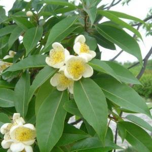 木荷(拉丁学名:Schima superba Gardn. et Champ.)是山茶科木荷树属大乔木,高25米,嫩枝通常无毛。喜光,幼年稍耐庇荫。其分布于浙江、福建、台湾、江西、湖南、广东、海南、广西、贵州等地。  木荷既是一种优良的绿化、用材树种,又是一种较好的耐火、抗火、难燃树种。木荷为中国珍贵的用材树种,树干通直,材质坚韧,结构细致,耐久用,易加工,是纺织工业中制作纱绽、纱管的上等材料;又是桥梁、船舶、车辆、建筑、农具、家具、胶合板等优良用材,树皮、树叶含鞣质,可以提取单宁。木荷是很好的防火林种。  木荷因有大毒不可内服。外用:捣敷患处。用于攻毒,消肿。主疔疮;无名肿毒。      木荷的分类  南洋木荷  所属卷:Schima Reinw. ex Bl. 所属科:Theaceae 中文名:南洋木荷其它中文名:云南木荷  成凤山木荷(云南种子植物名录)。  乔木,高达20米;顶芽被白色绢毛;幼枝疏生短柔毛或近无毛。叶革质,长圆形,长10—15厘米,宽3—5厘米,先端渐尖,基部楔形,全缘,两面无毛,叶背面干后变棕色,中脉在叶面平,背面隆起,侧脉10—12对,两面突起,网脉不显;叶柄长1—1.5厘米,上面平。花生于小枝上部叶腋,  单生或数朵排列成伞房状总状花序;花梗长3 —6厘米,多少纤细弯曲,无毛;小苞片2,早落;萼片近圆形,径约5毫米,外面无毛或几无毛,边缘具睫毛;花冠淡红色,花瓣宽倒卵形,长约1.5厘米,先端圆形,外面近基部被灰黄色绒毛;雄蕊长约8毫米,花丝无毛,基部与花瓣贴生;子房球形,密被绒毛,5室,花柱与雄蕊等长,无毛,柱头5,头状。蒴果球形,径2—2.5厘米,5瓣裂;种子连翅长1.2厘米,宽约9毫米。花期7月,果期10—11月。  分布及生境:产孟连、勐海、景东、屏边;生于海拔2 100—2 500米的常绿阔叶林或混交林中。分布于中南半岛、马来半岛至爪哇。  毛木荷  所属卷:Schima Reinw. ex Bl.,所属科:Theaceae,中文名:毛木荷  其它中文名:大萼木荷(中山大学学报),柔毛木荷(云南种子植物名录),箐毛木(屏边),毛毛树(金平)。乔木,高(7—)15—25米;顶芽卵形,密被灰色绢毛;小枝粗壮,具白色皮孔,幼枝密被灰色绒毛。叶革质,长圆状椭圆形,长(10— )16—26厘米,宽4.5—8.5厘米,先端急尖或渐尖,基部楔形,多少下延,全缘,叶面绿色,干后黄褐色,无毛,略有光泽,背面被白霜,沿中脉被开展长柔毛,其余被平伏柔毛,中脉在叶面平或略突,背面隆起,侧脉12—15对,在叶面清晰或微凹,背面突起;叶柄长1.4—2厘米,被灰色绒毛。花单生小枝上部叶腋,白色,径约3厘米;花梗粗壮,长约3厘米,密被灰色绒毛,具白色皮孔;小苞片2,披针形,长约1.2厘米,宽3—4毫米,密被灰色绢毛;萼片革质,宽卵形或近圆形,长(7—)10—12毫米,外面密被灰黄色绢状绒毛,里面被细绢毛;花瓣近圆形,长约2.5厘米,外面近基部被绢毛,基部多少合生;雄蕊长8—10毫米,花丝无毛,基部与花瓣贴生;子房球形,密被灰黄色绒毛,花柱粗壮,与雄蕊近等长,无毛或近基部疏生柔毛,柱头5。蒴果扁球形,长1.5—2厘米,宽2— 2.5厘米,5裂,果瓣木质;种子近肾形,连翅长约1厘米,宽约6 毫米。花果期7 月。  分布及生境:产金平、屏边、河口;生于海拔1 300—1 550米的常绿阔叶林中。模式标本采自金平。  印度木荷  所属卷:Schima Reinw. ex Bl. 所属科:Theaceae 中文名:印度木荷 其它中文名:尖齿木荷、大花木荷(图鉴补编)。  乔木,高20—25米;顶芽密被灰白色绢毛;幼枝紫红色,无毛或近无毛,散生白色皮孔。叶薄革质,椭圆形,长12—18厘米,宽5—9厘米,先端急尖至短渐尖,基部阔楔形至近圆形,边缘具整齐锯齿达基部,叶面深绿色,略具光泽,背面淡绿色,干后变淡棕色,两面沿中脉被短柔毛,后变无毛,中脉紫红色,在叶面平,背面隆起,侧脉10—12对,纤细,和网脉在两面明显突起;叶柄长1.5—2厘米,紫红色,疏生短柔毛,后变无毛。花单生小枝上部叶腋,白色;花梗粗壮,长1.5—2厘米,粗约3毫米,向上增粗,密被灰黄色细绒毛;小苞片2,阔倒卵形,比萼片大,长1—1.2厘米,宽8—9毫米,具脉纹,两面疏被微柔毛,早落;花萼杯状,长约8毫米,下部合生,外面密被灰黄色细绒毛,萼片半圆形,长约4毫米,宽约6毫米,边缘具流苏状小腺齿,两面被细绒毛;花冠阔倒卵形,长 2.5—3厘米,外面近基部被灰黄色细绒毛;雄蕊长约1.5厘米,无毛,花丝基部与花瓣贴生;子房密被灰黄色绒毛,花柱无毛。蒴果球形,较大,长约3厘米,径达3.5厘米,5瓣裂;种子具膜质翅,长1.2—1.6厘米,宽8—10毫米。花期8月,果期12月。  分