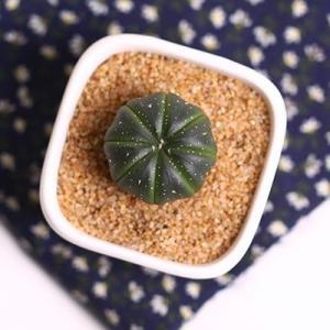 栽种植物的植料:  植料是栽种植物的根本,所以是非常关键的一个因素。若用相对较大颗粒的植料来栽种它,虽然能提高它的成活率并减少它根部易烂的现象,但是这样也有不良之处:它的生长速度会变慢,或者是暂停生长,同时还会让它的根系变得非常稀少,甚至是根本没有根系。  这个现象很多花友在给它换盆时都见过,但不知道是什么原因造成的。这是影响它生长速度的重要因素之一。所以,应尽量选用较小颗粒的植料栽种它。   浇水的方式:  花友们在养殖不同植物前都会去了解一下它的习性,而网上说它属于抗旱型的,有的花友就让它长期处在干燥中,这是非常错误的做法。  它在生长期内对水的需求量是非常大的,可是这不代表它可以长期在潮湿的土壤中或是有积水的环境中生长。所以生长期浇水每次都要浇足,而且盆土要有足够的通透性,防止积水。其它时期保持盆土微干就可以。  下面分享一个可以让它更快生长的方法,那就是嫁接。把它嫁接到别的植物上可以帮助它很快的生长。具体的操作方法也比较简单,若有感兴趣的花友们可以尝试。