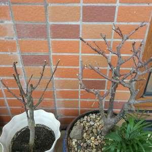 右边的木瓜海棠是过年时买的,原来花开得很盛,花败后叶子抽了很多,进入夏季后有可能是因为我继续见干浇透,叶子不停地干枯掉落,直至光枯枯的,把它从室内搬到室外晒太阳也不见起色
