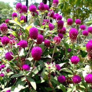 #千日红  ,又名千年红、火球花、红火球,为苋科一年生草本花卉。千日红夏秋开花,花细小,着生于枝端,密集成圆球形,为头状花序。花色有紫红、粉红和白色(千日白)等。花色及花形经久不变,观赏期很长。花期7—9月。  千日红原产我国和印度。它对环境要求不严,但性喜阳光、炎热干燥气候,适生于疏松肥沃排水良好的土壤中。   千日红用种子繁殖,9-10月采种,4-5月播种,6月定植。种子为带花被的脆果,外表被毛。播种前用冷水浸种1-2天,可提高出苗率。浸过的种子稍晾干,拌以草木灰后播种。种子发芽后,在幼苗期要进行几次打顶整枝,可促使植株多分枝多开花、植株低矮化。再选择节间短密的植株培植,以保持优良品种。生长期要适量施肥、浇水,注意中耕除草和雨季排涝。  盆栽千日红上盆后要保持湿润,并注意遮荫。生长期结合浇水进行追肥。此花对肥水、土壤要求不严,管理可较粗放。残花谢后进行整枝修剪,仍能萌发新枝,于晚秋再次开花,但须多施薄肥。