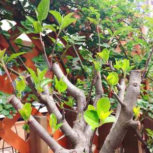 这是什么品种的树?买的时候说是海棠,不知道什么品种?
