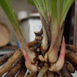 """大凡养兰人都期盼自己的兰花兰芽多多,这就牵扯到如何提高兰花发苗率的问题。结合自己的养兰经验,笔者认为需要在以下几个方面下工夫。      一是确保根好苗壮  兰花的新芽是从假鳞茎上生长出来的,其假鳞茎是兰花生根、发芽、长叶、起蕾、开花的母体。虽然每株成苗理论上可发约6个兰芽,但一般情况下每苗只发一芽,只有根繁叶茂的起发壮草才能发双龙,甚至更多,其余的芽点则呈休眠状态。可见提高艺兰水平,使兰蕙根繁叶茂,是提高兰花发芽率的基本前提。  二是合理分株  在我国,国兰繁殖多采用无性繁殖中的分株法。盆中兰株多了,营养供应不上,势必导致发出的芽少而弱。因此,古人养兰有""""极弱则合,极壮则分""""的说法。盆中兰株多了,必须适时合理分株,这是提高兰花发芽率的最主要、最基本的方法。  三是老草另植促发芽  一般说来,根系好的老草可制造营养输送给下一代,对新苗的生长发育起促进作用;而无根或根系差的老草很难自身制造养分,本身所需的营养是新株为其提供的,这样的老株对新株的成长和发芽反而有害,必须分开另植,一般以3苗左右为宜。  四是扭伤假鳞茎  具体做法是在深秋或仲春,结合分株翻盆,取出兰苗,用两手分别捏住两个假磷茎的中上部向相反方向扭90度至180度,使连接茎呈半分离状态,但不可完全扭断。扭伤处要及时敷上甲基托布津,以防感染细菌,再将兰株种入盆中即可。这样处于半分离状态的爷代、父代、子代的假鳞茎都能各自发出新芽。不过这种方法只适用于假鳞茎较大的春兰、墨兰、建兰等,假鳞茎较小,连接茎短而成丛的蕙兰、春剑不宜采用。  五是单株繁殖  宜在深秋初冬或暮春初夏进行,可采用不翻盆截断连接茎的方式。操作步骤是:退去假鳞茎上面的植料,露出两个假鳞茎间的连接茎,用消过毒的剪刀或手术刀将连接茎截断,伤口及时敷上甲基托布津消毒,晾晒两三个小时后,填上消毒过的植料即可。  六是使用植物生长调节剂  兰花催芽剂的使用能使新苗和老草的发芽率成倍提高,可实现一年发二至三代甚至四代苗。但催出的芽只有在特别优越的现代化温室里,利用各种营养液促生才能长成成熟苗;在自然、半自然环境下只有健壮的大芽才能正常生长。同时,利用激素催出来的新草由于已透支,引种后在自然环境下栽培往往第二年并不能正常发芽,一般要休养生息一年才能正常发芽。  七是适当疏蕾  艺兰人要根据盆兰的壮弱,本着去弱留强的原则,对立冬后新起的花苞和后龙草起的花苞及时疏蕾,一般满盆壮草春兰留两三个花苞,蕙兰留一个花苞即可,这样可使养分集中,有利于兰蕙提高发芽率。  八是春季适当淋雨  春雨对植物的生长具有不可替代的作用。实践证明,只要居住地空气污染不重,春季雨天下雨半小时后,空气中的污染物大大减少,再让兰花淋雨,非常有利于兰芽的生长。  九是适当缩短兰花休眠期  兰花在一年中要经历夏季和冬季两次休眠期,养兰人可以通过适当缩短兰花休眠期的方法,达到多发芽的目的。具体做法是:从立春开始,将兰室温度提到15℃以上,时间持续一个月左右,使兰花提前由休眠期转入生长期,促使兰花早发芽;二是当盛夏兰室温度高于30℃时,想办法将小环境温度降至25℃左右,缩短兰花夏季休眠时间,延长生长时间。"""