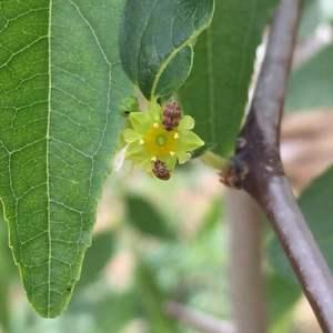 这是介壳虫吗,枣树花上特别多。 枣树附近的杏树叶子上都是洞,但是杏树上没发现虫子