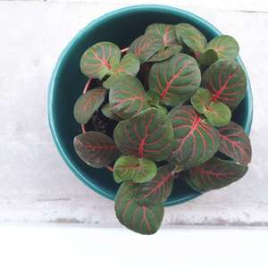 Anyone know the name of this small  plant? Bought on the fittonia section, but no name on the label..