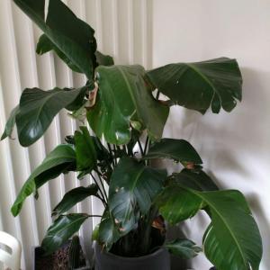 请问这个是什么植物?这个状态是什么原因?