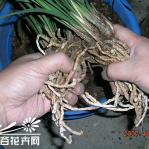 #兰花  常用分株、播种及组织培养兰花。常见的以分株繁殖为主,兰花分株兰花春秋两季均可进行,兰花一般每隔2—3年分株一次。  分株后的每丛至少要保存5个连结在一起的假球茎,而这些假球茎上至少有3个叶片生长健壮。分株前要减少灌水,使盆土较干。出盆时,除去根部旧土壤,以清水洗净,晾2—3小时。待根部发白微蔫后,再以利刀在假球茎间切割分株,切口处涂以草木灰或硫磺粉防腐。    栽种兰花适合采用富含腐殖质的砂质壤土。花盆以瓦盆为好,有利植株生长。盆底排水孔应比一般花盆为大,以有3—4个底孔为宜,花盆的大小与深浅依植株大小而定。  上盆时,先以碎瓦片覆在盆底孔上,再铺上粗石子,约占盆深度1/5—1/4,再放粗粒土及少量细土,使盆中部的土隆起后栽植。栽时将根散开,植株应稍倾斜。盆土随填随舒展其根,并摇动花盆数次,同时用手指塞紧压实。  栽植深度以将假球茎刚刚埋人土中为度。栽植后盆面略呈拱形,盆边缘留2厘米沿口,最后用细喷壶喷水2—3次,置阴处10—15天。附生兰需要分株时,先将根修好,适当剪开,然后用泥炭藓、蕨根、残叶等栽培材料包在根系之外,种入漏空花盆中。然后浇水,保持一定湿度。  场地选择:要求四周空旷,通风良好,并靠近水面,空气湿润,无煤烟污染。场地的西南面,可种 蕙兰常绿阔叶树,郁闭度应在0.7左右,这样可减少午后阳光照射,调节湿度与温度。