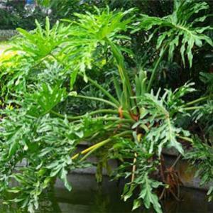 一、、播种步骤  1、准备一个盆口较浅的容器,底部留有排水口,陶土盆最佳;  2、准备松软稀疏的砂质腐叶土,进行消毒处理。  3、将消毒后的土放入盆里,放上春羽的种子,覆一层薄土。  4、种下种子后的盆土要保持湿润,喷洒的方式进行给水,不要用大水,容易冲刷掉种子,也容易造成过涝,影响种子成活率。  5、将盆栽放到温暖湿润的环境中,春夏季节室温就可以,控制到23℃到26℃之间最佳。  6、种下保持正确的养护方法,大约两周后节能发芽。   二、后期养护  1、换盆  幼芽长成小苗,当苗高长到五公分的时候可以进行分盆,在春季进行。准备好要移植的容器,放入泥炭土、河沙、腐殖土等材料混合形成,并施加少量氨肥。  换盆后小苗会进行自我缓解,进入快速成长时期。这个时候保证水分的充足,除了适量浇水之后要从叶面喷撒式浇水,保证空气湿度,避免叶子干枯失去观赏价值。冬季浇水要控制次数,盆土表面变干在给水即可。  2、春羽耐阴,正常放在室内半个月左右也能生长,但是夏季空气温度高、蒸腾作用比较强,应该进行遮光处理,放置在半阴、通风的状态下,这样做也是为了避免叶面被强光灼伤。  3、生长期约一个月左右使用一次肥料补充营养。可以选择有机液肥,薄肥就可以。也可以浇淘米水、浓度较低的鱼血水。  4、冬天温度过低,为防止冻坏,要转移到室内,放置在向阳的窗边。