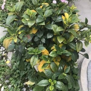 桅子花黄叶也不开花,放了硫酸亚铁,也没什么变化,怎么办?