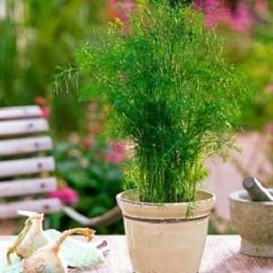 Learn how to grow dill in tropics. In warm, tropical climate you require a different approach to grow this herb. Growing dill in containers is also possible, which is given in this educative guide.