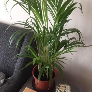 #Areaca  palm