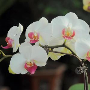 """蝴蝶兰属热带附生兰,栽培基质选择保水、透气的植料,如火砖粒、椰壳块、木炭块、蕨根或蛇木板等,置于遮光50%~70%的半荫蔽处培养。夏季防止高温、闷热,加强通风,保持70%~80%的空气湿度;冬季应注意防低温寒害。      蝴蝶兰主要靠根外追肥来促进植株生长,故在其生长季节里,每周喷施1次浓度为0.1%~0.3%的氮磷钾全肥或磷酸二氢钾,以及石硫合剂、多菌灵、甲基托布津等农药,防病治病。  (1)蝴蝶兰温室栽培:可用无土基质栽培,也可土壤地栽。无土基质可用苔藓、泥炭、树皮等,云南的几家公司用苔藓作基质盆栽,用营养液水肥并施,效果较好。  (2)蝴蝶兰地栽基质可选用泥炭、珍珠岩、腐叶土加适当红土配制而成,并经过蒸汽消毒后使用。温室内作成宽1.2米,深度约20—25厘米的栽植床,床体应具备良好的排水和透气条件,最好建成与地面隔离的高床。床内置入栽培基质。温室内应具备通风设备、遮阴设备、喷雾设备、加温设备和喷滴灌设备。  (3)蝴蝶兰栽种密度为每平方米20—32株,等间距定植。植后浇水多以喷水的方式进行,喷水宜用软水,以防叶面留下水垢影响生长。喷雾状水既对植株浇水,又增大了掌空气温度,有利于植株生长发育。  (4)蝴蝶兰施肥基本是结合浇水进行,一般将大量元素和微量元素按比例溶解在水中,调节酸碱度为微酸性,然后对全株进行喷洒,每周1—2次,浓度为0.1%—0.2%,最好使用植株能直接吸收的化肥。  (5)根据蝴蝶兰的生态习性,调节最适宜的光照、温度、湿度,并保持环境通风。创造一个最适宜蝴蝶兰生长发育的环境是保证切花产量品质的重要条件。  (6)蝴蝶兰整形修剪:当植株开花时,有时会出现花梗顶部下垂的现象,可用竹竿予以支撑。如为盆栽观赏,还可用铁丝支撑,专门把上部弯曲,以便花枝有一定造型,从而提高了观赏性。另外,地栽植株要及时清除外围枯叶,集中烧毁,以防病菌感染。  (7)蝴蝶兰主要病虫害:细菌性软腐病、斑点病、灰霉病、炭疽病、疫病、蛞蝓等,要加强防治。切花采收:当花序基部的小花开放2—3朵时为采收适期,所收花的切花整理分级后单枝进行包装,装箱上市。如要贮藏,因蝴蝶兰怕低温,应在不低于13℃的条件下贮藏,以免发生冻害。  蝴蝶兰湿度:蝴蝶兰喜欢较高的空气湿度,生长期间应保持在70%-80%,因此,应经常往周围的空间喷水以增加湿度,但基质的水分不可过大,否则易烂根,稍干的基质利于新根的生长。  蝴蝶兰光照:每天根据天气状况及时打开遮阴网,以促进蝴蝶兰的光合作用,在温度较高或湿度过大时开天窗使之通风透气。蝴蝶兰施肥:蝴蝶兰施肥坚持""""薄肥勤施""""的原则,可将1500倍复合肥与5000倍硼酸混合喷雾,以后每隔一周施一次1500倍复合肥,另外蝴蝶兰为肉质根,要使其根系肥厚,钾肥的施用就比较重要。  光照和荫蔽  室外养兰需要遮光,夏季遮光70%~80%,春、秋季遮光50%~60%,冬季遮光40%~50%。遮光材料有遮光网、帘子,或自制的木条、竹片架子。自制遮光架子应为条子宽4~5厘米,间隔3.3~4厘米,架于兰盆之上1米左右。"""