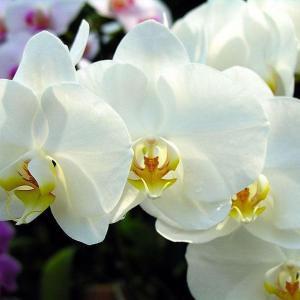 """兰花中的""""龙根""""及""""龙根苗"""",有真假之分。所谓真""""龙根苗"""" 其实是由种子萌发而形成的,也叫""""实生苗""""。大家知道,兰花的种子很小、很多、很轻。兰花蒴果成熟开裂后,种子散落在原来生她养她的原生地。遇风时,这些轻轻的种子,有的就随风飘扬,背井离乡,远走高飞,散落在异地他乡。落地之处如是适宜兰花生长的山腰石壁、山间林地、山涧峡谷,散落的种子有的就在那里生根、萌芽、长叶,安家落户,繁衍生存。在自然界,兰花种子萌发后,在土里首先形成""""龙根"""",这种""""龙根""""不是兰花的根,而是兰花的根状茎。""""龙根""""长到土面时,其顶端膨大形成小小的假鳞茎,向下生根,向上长叶,长成幼苗。这种带有""""龙根""""的兰苗就叫做""""实生苗"""",俗称""""龙根苗"""",也称""""龙根籽生苗""""。一般而言,龙根只有原生植株才具有,而次生芽则没有龙根。      龙根较小而密实,节间短且脆嫩,有很多个节和节间,每个节位都有一个休眠芽,每个休眠芽都有可能萌发出一个新的实生苗。一般来说,一条龙根的寿命大约2 年,待小苗长壮芦头形成后其龙蛋自行脱落,龙根龙蛋不再复出,原生株的龙根腐烂后好长一段时间内还会留下乳突状之物,龙根的痕迹依稀可辨。  真龙根与龙根苗还有两种情况:一是单颗种子萌发的龙根苗。在自然界中,这类龙根亩多是单株独苗的幼弱苗株,每株仅有一条龙根,在芽的正下方,呈垂直或近垂直状态。在山野中,凡是幼小的单株兰苗多数属于这类龙根苗,有时候上山一次就能采到几十株这样的龙根苗。这类龙根苗其苗弱小,管理十分费力,5-8年不易见花。 二是姜状龙根。姜状龙根,也有人称块状龙根,形似姜状,也似珊瑚,兰株从块茎上长出。姜状龙根的产生可能是由于兰花蒴果落地后数以万计的种子颗粒同时密集萌发,相互纠结成块在一起状似块茎。这种姜状龙根萌生的龙根苗有时几苗甚至几十苗生长在一起。  有人提出,龙根苗易出变异新品种,概率约1.4%,且在评价龙根时说,龙根的长度以长者为优,短者为劣,节间短为佳,节间长为劣。龙根的形态越为怪异者越好。这些观点是否能成立,有待进一步验证。  关于假龙根苗的形成。一般情况下,兰花假鳞茎是丛生在一起的,它们之间相连的地方有一段很短的地下茎。这地下茎在自然界生长过程中,由于某种原因,如遇埋土过深或为大石块所压,生长受抑制,危及兰丛的生存时,会萌生一条比较长的竹节根(假龙根),一直伸到适当的地方再形成新芽,生根长叶,并形成新的假鳞茎,这种似竹节状地下茎,也有人俗称为""""龙根"""",生长的植株也被称为""""龙根苗""""。台湾兰界所说的""""掘地三尺而难觅得""""的龙根也许指的就是这种兰株被深埋土里而萌生的龙根。有人说家养的兰株,由于栽植不当,假鳞茎被盆土埋得太深,也会产生类似的情况。并提出这种""""龙根苗""""变异比较多,这种观点也有待兰友们证实。  近年来,受龙根苗易产生变异新品种之说的影响,不少人由于利润所驱或者求佳种心切,盲目收购或上山滥挖龙根籽生苗,使兰花资源遭到了毁灭性的破坏。诚然,台湾报岁兰铭品中的汉光、万代福等都是从龙根苗中培育出来的,墨兰重瓣奇花具有奇根、奇甲、奇叶、龙根、三面刺等特征,这是不争的事实。实际上,龙根苗有可能出叶艺开奇花,但这仅仅只是一种可能性。因为铭品本来就是甚为难得的稀有之物。正是""""奇花有特征,但有特征的不一定开奇花"""" 。""""龙根""""只是佳品兰花的特征之一,但绝不是凡是带有龙根的龙根苗都会频频出佳品。"""