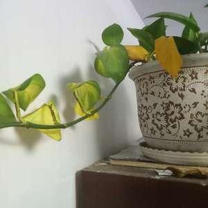 叶片从根部发黄,这两天特别快,而且叶子从叶片中间向外黄死