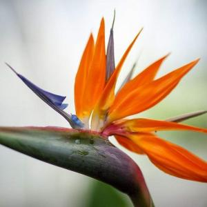 """天堂鸟是旅人蕉科多年生草本植物,无茎,所以当有些叶子枯萎或者病时花友们不知道天堂鸟怎么修剪,其实不难,如果叶子枯萎了,但是叶柄部分还鲜绿,我们可以先把叶子剪掉,保留叶柄。过几天叶柄也会逐渐枯萎,那时候再减掉叶柄就可以了。   修剪的时候要注意,我们最大限度是剪掉叶柄部分,而不要直接看到基部,因为新叶子是从基部发出来的,如上图。  关于修剪基本就这样了,不需要太担心,不会剪坏的,不少花友在养天堂鸟的时候遇到最多的问题就是叶子不舒展,甚至卷曲,其实这些问题,多半是光照和湿度的问题。  天堂鸟是热带植物,原产地的气候特点是高温、高湿,要注意高温并不代表烈日炎炎,所以我们在养护天堂鸟的时候一定要注意光照问题和湿度问题。  鹤望兰每天要有不少于4小时的直接光照,最好是整天有亮光。阳光强烈时采取一些保护措施。在冬季主要采花期,阳光充足有利于增加产花量。光照调节强调""""冬不阴,夏不晒""""的管理原则。植株在遮阴的情况下叶片的外观会更漂亮,只是花朵数目会比较少。"""