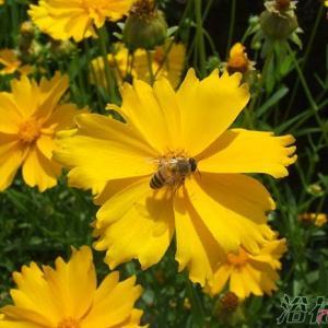 金鸡菊一般做绿化植物用,有网友问及金鸡菊什么时候播种,在全国大部分地区都可以在春季播种,也就是3-4月份的时候播种,北方可根据实际情况适当延后。   春季播种的金鸡菊大概在5-6月份左右就能开始开花了,花期可以一直持续到10月份左右,金鸡菊花期比较长。  如果是小范围种植,比如盆栽之类,播种期就相对自由一些了,8月份也可以播种。   金鸡菊为多年生宿根草本,而且可以自行繁衍,所以一般撒播一次后,第二年可自行发芽。  金鸡菊类耐寒耐旱,对土壤要求不严,喜光,但耐半阴,适应性强,对二氧化硫有较强的抗性。