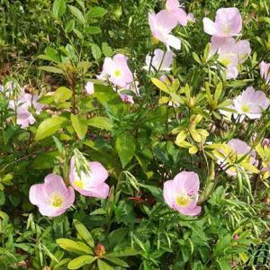 美丽月见草并不在大多数花友盆栽的范围内,只有少数花友盆栽,其主要还在在绿化带里,所以相对于其他主流花草来说,美丽月见草播种,花期,过冬甚至是多高等资料也就不是那么丰富了。   1、美丽月见草播种时间  一般来说春、秋两季播种,如果是秋季播种北方地区要注意防寒,关于过冬后面会说到。播种方法比较简单,将土梳理整平,然后撒种子,覆盖不超过0.5厘米的土,然后喷水,保持温度在15℃以上和土壤湿度就可以了。一般是半个月左右发芽。  2、美丽月月见草花期  花期一般在4到7月份左右,南北地区花期会有所差异。  3、美丽月见草能长多高  其实它并不是很高,一般来说在30-60厘米左右。   4.美丽月见草过冬怎么办,北方能冻死么  坦白的说,编辑没在北方养过月见草,所以只能把查到的资料转述给花友,在国外的资料上说美丽月见草是耐寒区域是4-9(大概是-1℃到-20℃)、这个资料感觉不太可能,国内资料更可信一点,按照资料显示,国内分布式庐山和贵州地区,冬季不是特别冷、所以结果其他资料,美丽月见草在北方一般是做一年生栽种,也就是春季播种。南方地区则可以多年生种植。