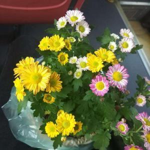 哪位大神指点一下这是什么花,卖家说是美人菊,百度上没有查到,不知道怎么养