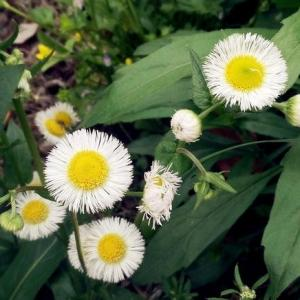 Learn how to  #grow   feverfew. Growing feverfew plant is relatively easy. It is a useful medicinal herb, plus it embellishes itself with beautiful yellow-white  #flowers  .