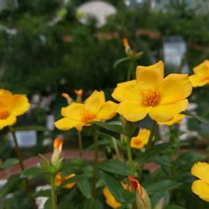 """其实松叶牡丹种植方法没啥可写的,因为这货太皮实,随随便便就是一盆,不过为了花友能补充更多能量,我们就多说一些有关松叶牡丹的一些知识。   松叶牡丹是我们常说的太阳花的一种,之所以说一种(文章底部有专门介绍),是因为还有一种扁叶子马齿牡丹,不少花友也习惯叫它太阳花。  不废话了,先主要说松叶牡丹种植方法吧,先说一下编辑的一段经历。  今年夏天,编辑想种点松叶牡丹,但是觉得这个东西没必要买,所以就在公园,绿化带等地方看到有松叶牡丹,所以编辑就不同花色的都掐了一根(掐了四个品种的,就四根枝条)。  看到这里,估计不少花友该说了,这种行为不值得提倡,编辑反思,主要是松叶牡丹发枝很快,而且过来花期,绿化带里的就扔掉也可惜了。  到家后,随便弄了点土,把四根枝条插入土中(枝条比较软,先用木棍戳个孔,然后把枝条放进去),浇足水,放在阴凉的地方放了用两天吧,然后就正常养护了,后面就是泛滥了。  之所以说这个小故事,是想告诉花友,松叶牡丹好养,只要给光照,它就开花不断,如果想养的更好,可以适当给予一些开花肥,平时注意浇水,不要旱的太厉害。  松叶牡丹几乎可以说是没有什么值得注意的地方,毕竟过去也被当做太阳花、死不了,夏季都可露养,适当遮阴则可以活得很滋润,唯一的缺点是比较怕冷,冬季低于5℃,可搬进室内。  太阳花比较重要的一个环节就是摘心了,长到3、4厘米高时,从根部又长出了分枝。此时摘去主枝的头梢,不久在断口处又会萌生出一簇枝芽。待到根部的分枝长到一定长度,也可对分枝进行摘头,如此这般处理后,太阳花被矮化了,株型也变好看了。  繁殖扦插即可成活,开花后通常也会有种子,播种叶容易成活。  松叶牡丹和太阳花的区别  细叶子的叫""""松叶牡丹"""",拉丁名:Portulaca grandiflora   扁叶子则叫马齿牡丹 拉丁名:Portulaca oleracea var. Granatus是松叶牡丹(大花马齿苋)与马齿苋的杂交品种,又名阔叶半支莲。"""