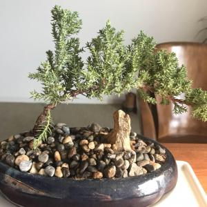 Does anyone know what kind of a bonsai tree this little guy is?