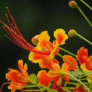 金凤花(学名:Caesalpinia pulcherrima  (L.) Sw.):大灌木或小乔木;高达3米,枝绿或粉绿色,有疏刺。二回羽状复叶4对至8对,对生,小叶7对至11对,长椭圆形或倒卵形,基部歪斜,顶端凹缺,小叶柄很短。总状花序顶生或腋生,花瓣圆形具柄, 橙或黄色,花梗长达7厘米。荚果黑色。种子6颗至9颗。花果期几乎全年。   原产地西印度群岛,中国云南、广西、广东和台湾均有栽培。为热带地区有价值的观赏树木之一。      金凤花的繁殖方式  金凤花是用种子繁殖,从6月中旬至12月中旬,荚果陆续成熟,以9-10月份为成熟盛期,采集盛期成熟的果荚,置日光下暴晒,开裂后脱出种子,可以随采随播种,幼苗防寒越冬,也可将种子储藏翌年春播,种子千粒重约132克,发芽时气温需在20℃以上,以春季3月中下旬播种较宜,播前用60℃温水浸种,冷却后继续浸泡12小时,发芽快速,一般播种后三天即开始发芽,一周内发芽结束,发芽率约为60%。  用条播法,幼苗生长速度中等,苗期施氮肥2-3次追苗,10月份以后,停施氮肥,施钾肥一致,促使早期木质化,冬季注意覆盖防霜,1年生苗可出圃定植,2年生幼树,即可开花供观赏。如发生叶斑病,可用50%多菌灵可湿性粉500倍液防治。  金凤花的栽培技术  对肥力的要求不甚高,一般肥力中等、磷钾肥较高的土壤,开花繁茂,色泽亦鲜艳,水分充足,氮肥较高的土壤枝叶繁茂,开花亦较多,但色泽欠鲜艳,种植时宜施腐熟饼肥或垃圾作基肥,花前及开花盛期,追施磷钾肥,树形不甚美观,但具萌芽性,管理中可用截干或修枝整形,促使树冠丰满,也可3-5株种植于一处,以提高观赏效果。  病虫防治  白粉病  症状此病主要发生在叶片和嫩梢上。一般在6月开始发生,7月份以后叶面布满白色粉层。随后,在白粉层中形成黄色小粒点,颜色逐渐变深,最后呈黑褐色。传染途径病菌在病株残体和种子内越冬。翌年,当环境适宜时,病菌借风雨传播。8-9月为发病盛期。  防治方法:  栽植不过密,适当通风,加强肥水管理,增强植株的抗病力。将病叶、病株清除,集中销毁,减少传染源。 发病期间用15%粉锈宁可湿性粉剂1000-1200倍液,或70%甲基托布津可湿性粉剂1000倍液防治。在32℃以上的高温下避免喷药,以免发生药害。 褐斑病  金凤花褐斑病又称风仙花叶斑病,在中国南北各地均有发生。症状病害主要发生在叶片上。叶面病斑初为浅黄褐色小点,后扩展成圆形或椭圆形,以后中央变成淡褐色,边缘褐色,具有不明显的轮纹。严重患病的叶片上,病斑连片,导致叶片变得枯黄,直至植株死亡。传染途径病菌在风仙花病残体及土壤植物碎片上越冬。翌年当环境条件适宜时,病菌借风雨飞散传播。高温多雨的季节,易发病。  防治方法:  金凤花喜肥沃的砂质壤土,不耐涝。因此,种植以砂质壤土为宜,以利排水;盆栽金凤花,雨后应及时倒盆。秋末应将病叶、病株集中销毁,减少来年传染源。 发病初期用25%多菌灵可湿性粉剂300-600倍液,或50%甲基托布津100倍液,或75%百菌清1000倍液防治。 立枯病  症状病菌主要侵染根茎部,致病部变黑或缢缩,潮湿时其上生白色霉状物,植株染病后,数天内即见叶萎蔫、干枯,继而造成整株死亡。  传播途径:主要以菌丝或菌核的形式在土壤或病残体内越冬,土壤中的菌丝营腐生生活,不休眠。在田间,主要靠接触传染,即植株的根、茎、叶接触病土时,便会被土中的菌丝侵染,在有水膜的条件下,与病部接触的健叶即染病。此外,种子、农具及带菌堆肥等都可使病害传播蔓延。  防治方法:在发病初期拔除病株后喷洒75%百菌清可湿性粉剂600倍液,或60%多·福可湿性粉剂500倍液、20%甲基立枯磷乳油1200倍液。
